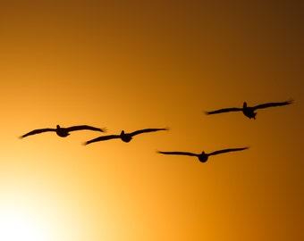 Soaring Pelicans