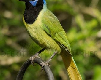 The Greenest of Jays Photo Print: Green Jay