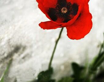 Poppy print, poppy photography, flower photography, poppy picture, framed poppy, red, white, poppy decor, mounted print, large print, pretty