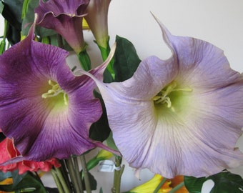 Purple/Lavender Angel's Trumpet for Judy