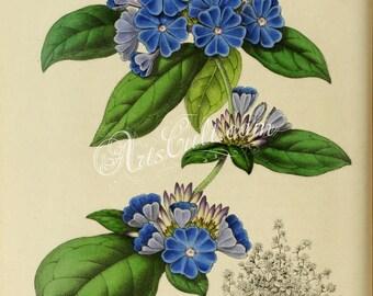 flowers-17853 - plumbago larpentae, Ceratostigma plumbaginoides, Valoradia larpentiae blue flower vintage botanical printable picture jpg