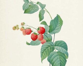 Raspberry Botanical Print - Raspberry Art Print - Fruit Art - Fruit Print - Kitchen Art - Garden - Redoute Art - Framboisier Rubus