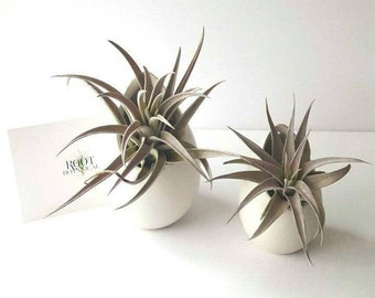 "Air Plant ""Harrissi"" in Modern ""Egg"" Planter, Hanging Air Plant"