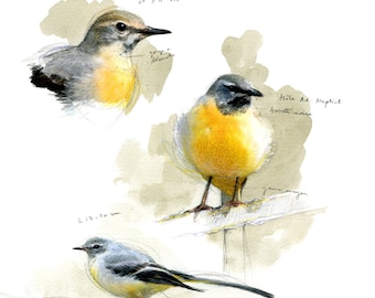 The ruissseaux Wagtail
