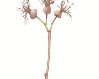 Original watercolour painting, botanical illustration  - 18*21 cm