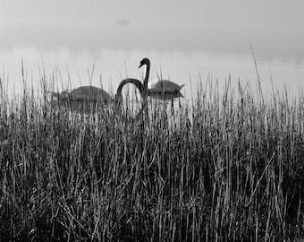 Swans of Nacton | A4 Photograph