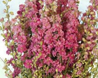PBDL)~FANCY ROSE Striped Larkspur~Seeds!!!!~~~~~Wonderful Biennial!!
