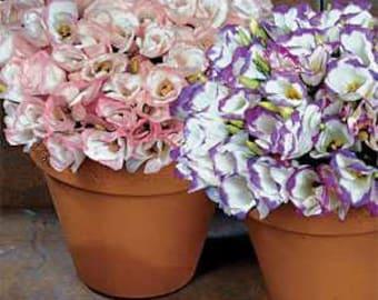 PBLISS)~SAPPHIRE MIX Lisianthus~Seeds!!!~~~~~Wedding Lovelies!!