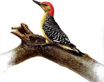 Vintage JF Lansdowne Print Book Plate Art, Red Bellied Woodpecker printed in Italy 1968, vintage bird print
