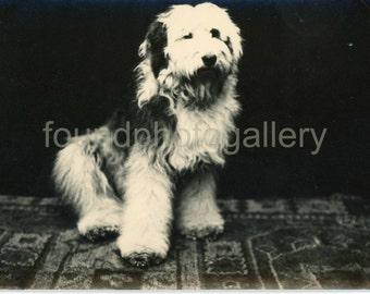 Vintage Photo, Sheep Dog Portrait, Black & White, Found Photo, Photo Postcard, Studio Portrait, Vernacular Photo, Prague Photo