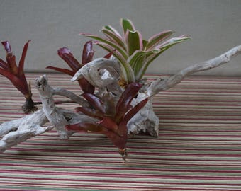 Driftwood Centerpiece with tropical bromeliads