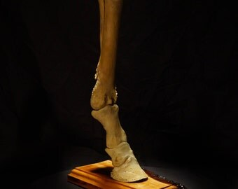 Equine Foot Display