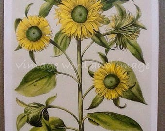 Sunflowers Art Print Vintage Lithograph Botanical Home Office Kitchen Wall Decor Basilius Besler Reprint Flower Color Book Plate Hollyhocks