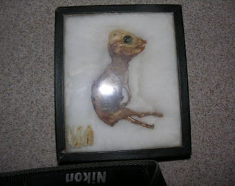 Bisected Half Mummified Fetal Pig In Riker Box [3 Legged?]