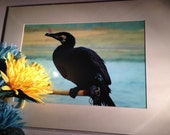 Cormorant in the Act - Mo...