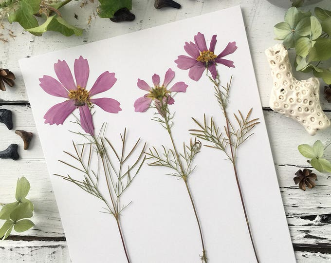 Real Pressed Flowers:  Wild Cosmos Cultivated Wildflower > Natural - Dye Free - Biodegradable - ECO Friendly