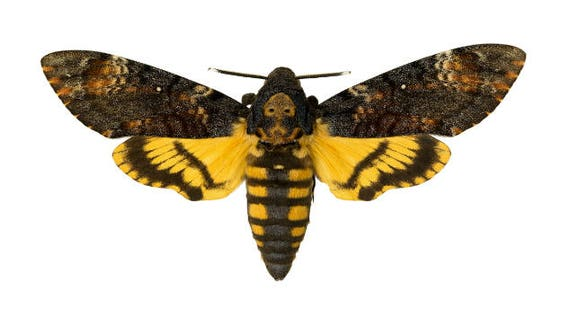Supplies for your artworks - dried insects - :  5 pieces of acheronta atropos , sphingidae, hawkmoth UNMOUNTED Aa-quality, FREE SHIPPING