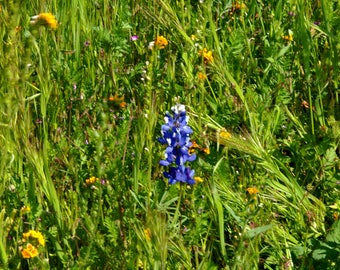 """Wildflower Photography, """"Lupine at Wind Wolves Preserve"""" Print, Lupine Flower Note Card, Wildflower Wall Art, Gift for Wildflower Lovers"""