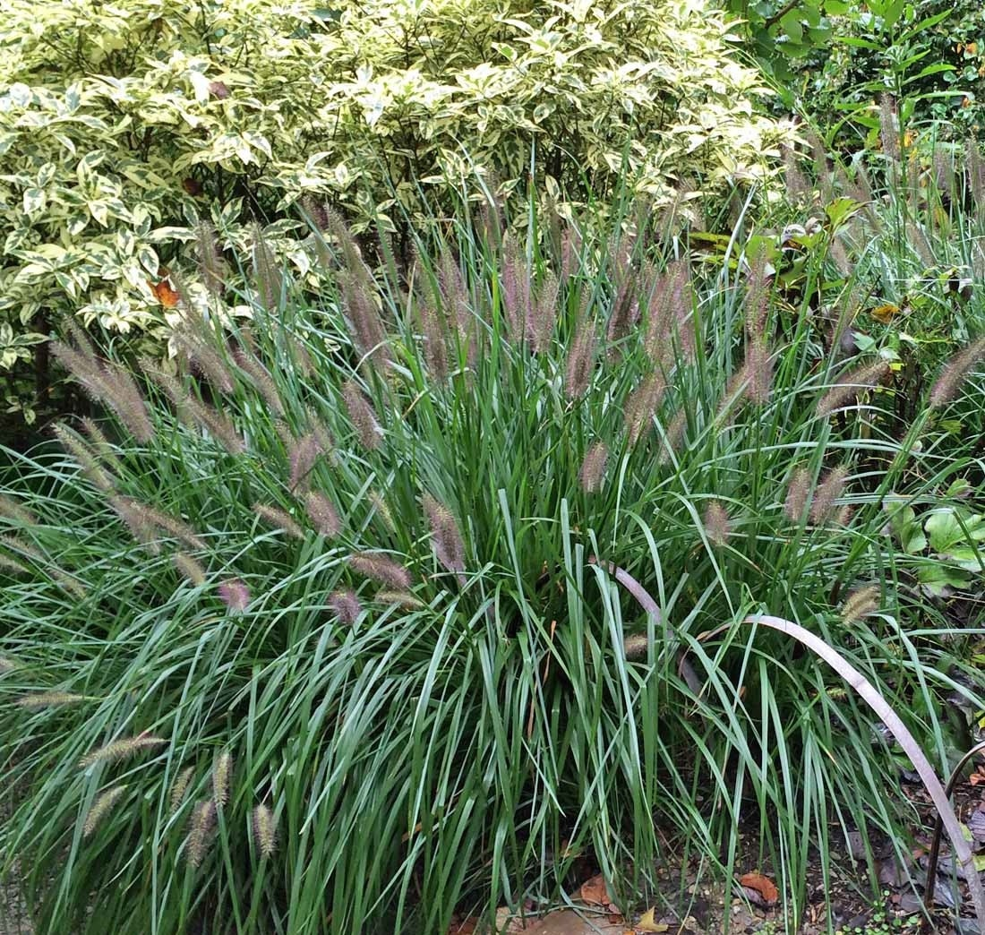 5 black fountain grass five pennisetum alopecuroides for Fountain grass