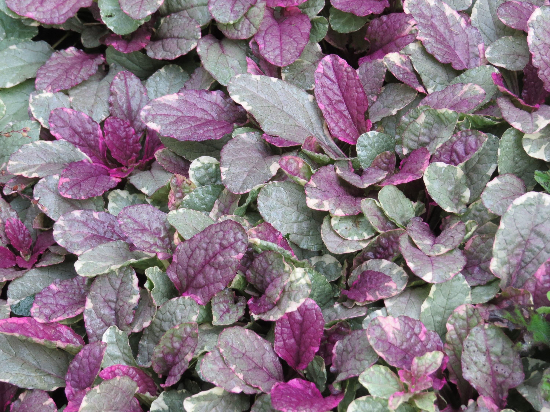 Ajuga ajuga 39 burgundy glow 39 perennial plants live for Purple flower ground cover perennial