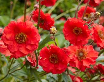Mrs Bradshaw Geum (Red Avens)  - 50 seeds