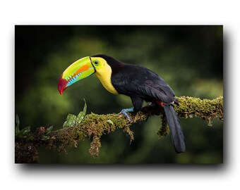 Toucan Print,Toucan Photo,Toucan Image,Tropical Bird,Bird Portrait,Bird Picture,Bird Photography,Bird,Bird Print,Toucan,Toucan Photography
