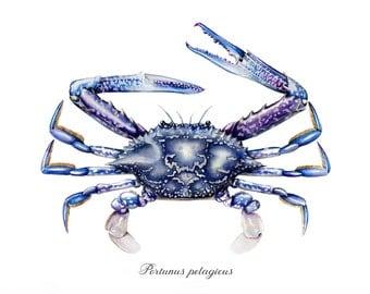 Blue swimmer crab art print