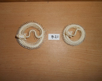 Taxidermy Snake  Skeleton 2 Pcs