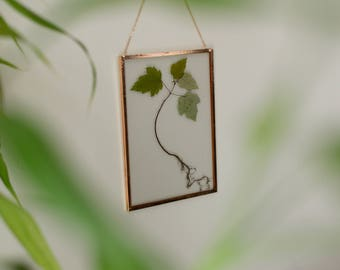 """Real pressed plant wall hanging   maple tree seedling   5x7"""" glass with copper edging   glass herbarium   botanical home decor"""