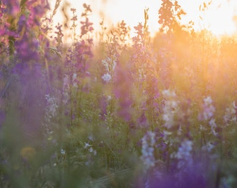 Purple Field Sunset Macro Vertical