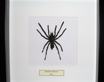 Mounted Spider in frame Europelma Spinicrus