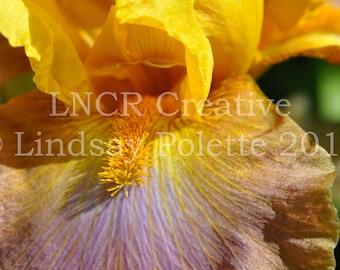 Yellow Iris Photo Unframed, Iris Print, Flowers, Fine Art Photograph, Garden Print, Spring Flowers, Nature Photography