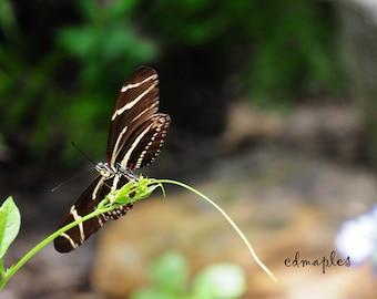 Zebra Heliconian Butterfly Photo, Butterfly Photo Print, Zebra Butterfly Color Print, Butterfly Photography