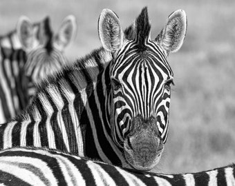 zebra, wildlife photography, African wildlife, black and white home decor, zebra, fine art photography, fine art print, nature photography