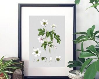 Botanical Illustration A4 Giclee Print - Wood Anemone
