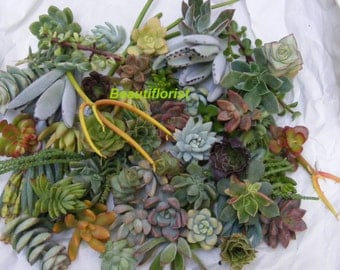 20 Assorted Succulent Cuttings 20 Varieties