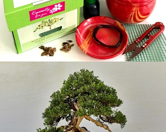 Premium Chinese Juniper Bonsai Kit- 10 Pieces - All you need in 1 box-  complete- Excellent as a gift
