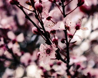 Pink Cherry Blossoms With Bokeh - 8x10 DIGITAL DOWNLOAD