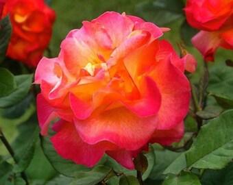Rose Card Package