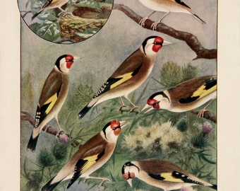A3 Bird Print Wall Art - Exhibition Goldfinches (Print #40)