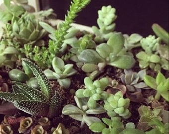 Set of 15 succulent cuttings