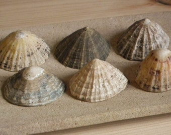 Patella Limpet Shells Beachcombing Find Northumberland UK * 6 Shells Seaside Shore Nautical Beach Decor Bathroom Garden Ornament Mosaic #17