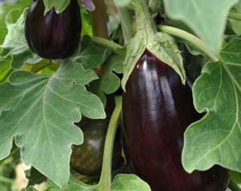 15 Organic Egg Plant Seeds Heirloom Non-GMO ''Black Beauty''
