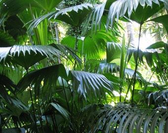 10 Jipijapa Palm, Carludovica Palmata Palm Tree Seeds