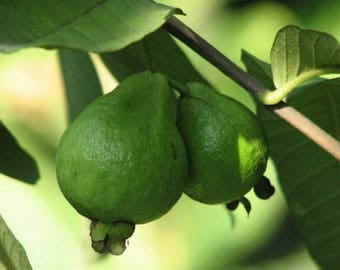 50+++ Guava Seeds Delicious Tropical Fruits Plant Non Transgenic Plants