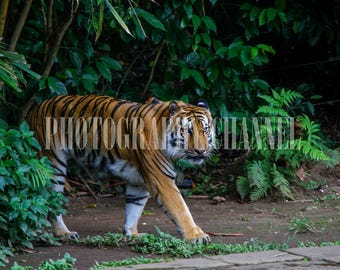 tiger, instant download, Siberian tiger, photography, tiger photography , collectors, art, wildlife