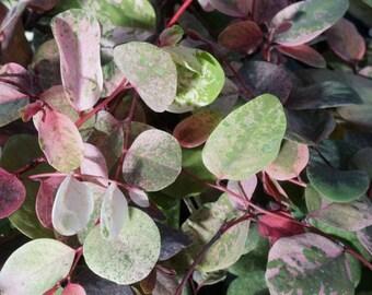 "Snowbush (Breynia disticha ""Roseopicta""): miniature garden, fairy garden, living plant, dwarf plant"