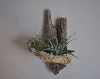 Air Plant Holder, Driftwood and Oyster Shell with Air Plant, Driftwood Wall Art, Oyster Shell Decoration