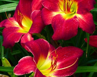 Red-Yellow Daylily Trio on Canvas