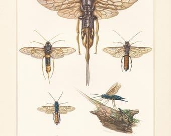 Vintage lithograph of the giant woodwasp and steel-blue woodwasp from 1956